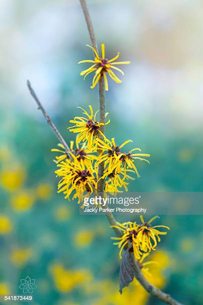 Witch hazel yellow flowers