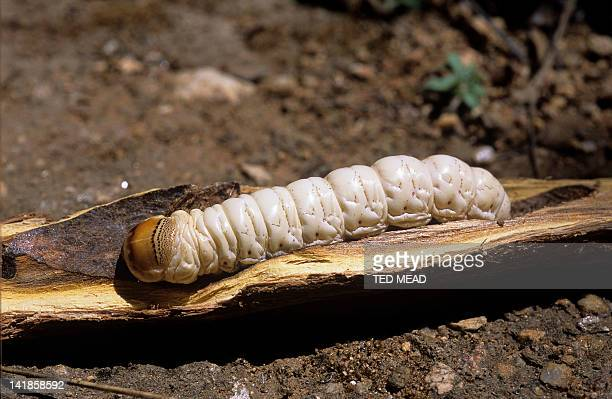 Witchetty Grub. Larva of the Cossid Moth ( Endoxyla leucomochla ) Staple food for the Australian Aboriginal people in the desert.
