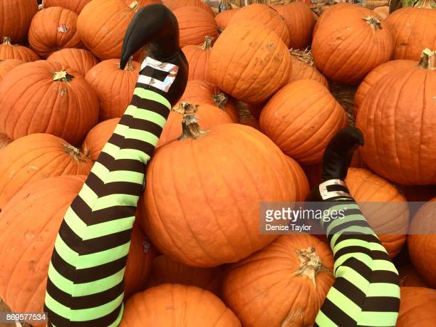 Witch's legs on pumpkins