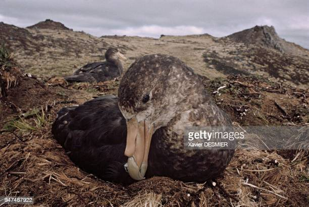 With a 2m wingspan giant petrels are impressive gravediggers Here two giant petrels nesting These fierce birds set up their nests in windy areas They...