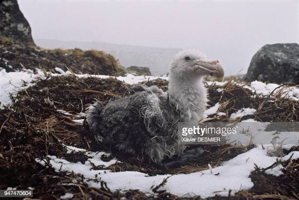 With a 2m wingspan giant petrels are impressive gravediggers They are at ease in stormy conditions which facilitate their flight Unnoticed in his...