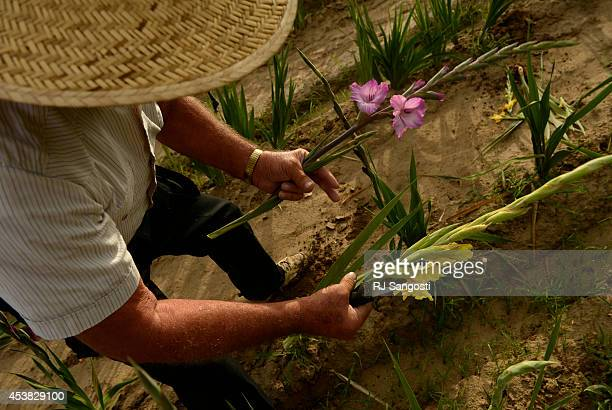 With a pocketknife in hand Marvin Bruce cuts the day's glads in his field of Gladiola flowers growing near Milliken August 19 2014 Bruce grows the...