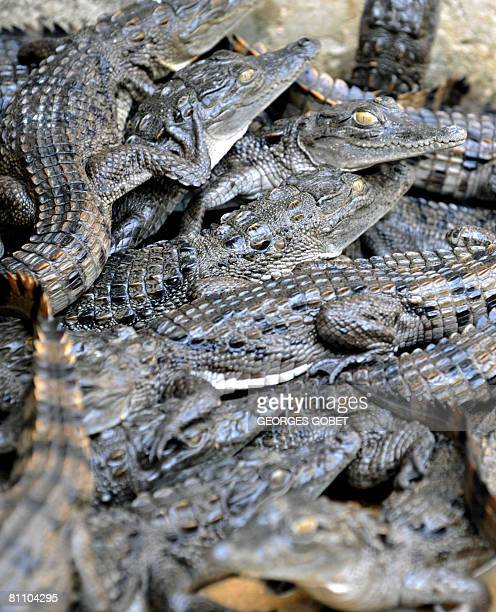 WIth AFP STORY BY Alexandre GROSBOIS Baby crocodiles from a farm of French Gerard Wartraux alias 'Pepe barricades' during Paris May 68 revolution are...