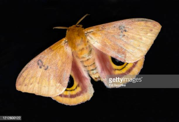 io moth (automeris io) female - with eyespots, a defense mechanism meant to frighten off potential predators - ed reschke photography stock pictures, royalty-free photos & images