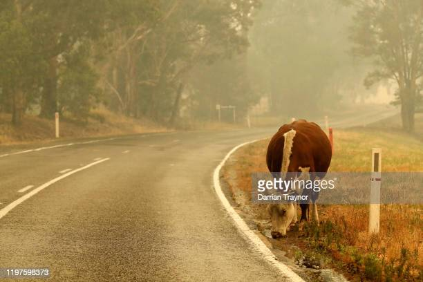With fire damaged fences cattle wander on to the road on January 05 2020 outside Cann River Australia Two people are dead and 4 remain unaccounted...