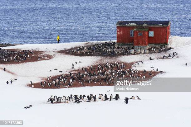 one guide with gentoo penguin colony on d'hainaut island in antarctic peninsula, antarctica. - south pole stock pictures, royalty-free photos & images