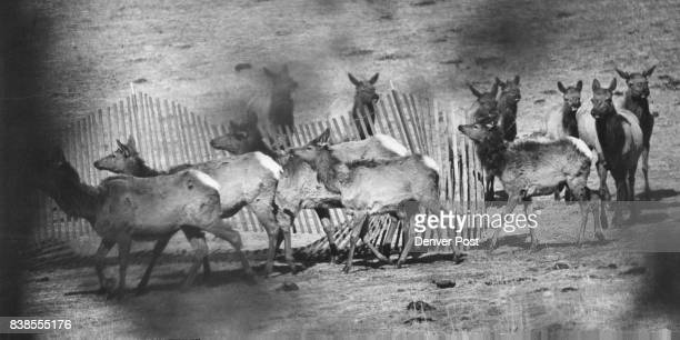 MAR 17 1976 MAR 20 1976 MAR 21 1976 with hay for them to graze as they were to be picked off with tranquilizer gun Credit Denver Post