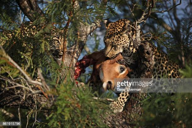 With her cub waiting for a meal at left a mother leopard carries her prey of a male impala in the branches of a tree out of reach of other predators...
