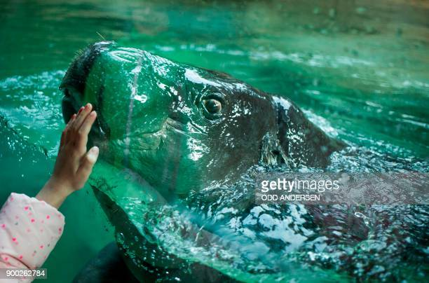 With her hand pressed against the glass a young visitor interacts with a baby hippopotamus swimming in its enclosure at the Berlin Zoo on January 1...
