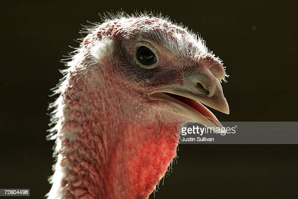 With less than one week before Thanksgiving a turkey walks around a pen at the Willie Bird Turkey Farm November 19 2006 in Sonoma California It is...