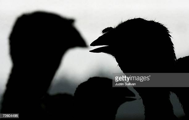 With less than one week before Thanksgiving turkeys are silhouetted in a barn at the Willie Bird Turkey Farm November 19 2006 in Sonoma California It...