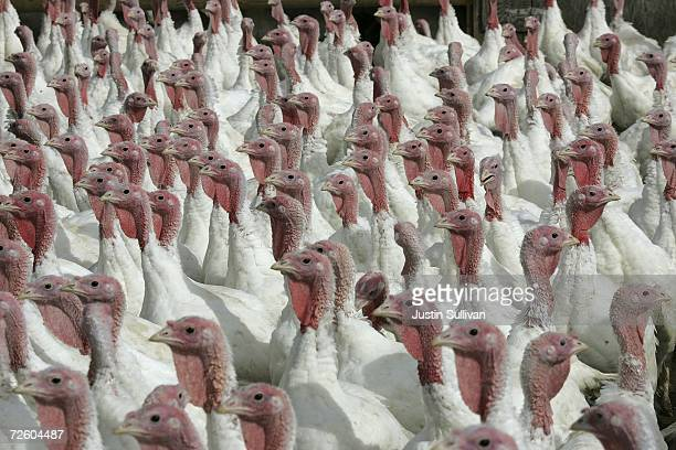 With less than one week before Thanksgiving turkeys walk around a pen at the Willie Bird Turkey Farm November 19 2006 in Sonoma California It is...