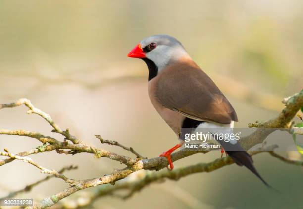 SHAFTAIL FINCH with red beak and red feet grasping a branch.