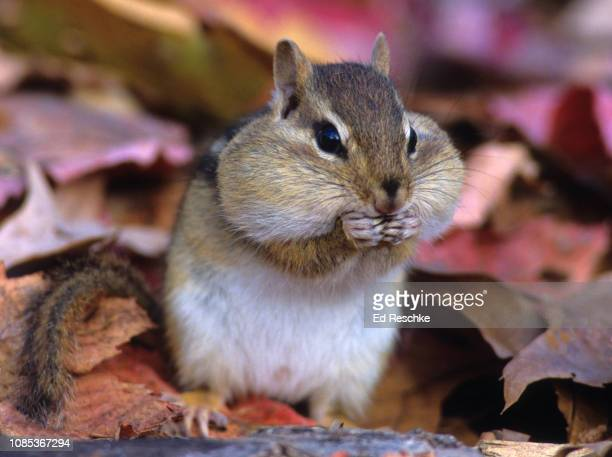 eastern chipmunk (tamias striatus) with stuffed cheek pouches, autumn - hibernation stock pictures, royalty-free photos & images