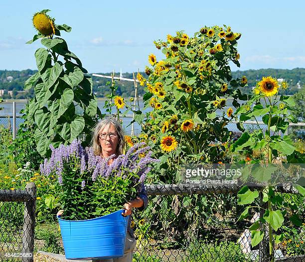 With sunflowers towering over her Lori Hammond of Portland removes her many flowers she planted in the spring in the North Street Community Gardens...