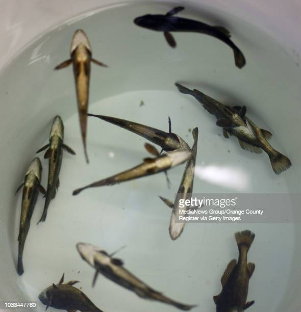 With the appearance of being dead anesthetized white seabass go belly up but quickly recover after they are measured by students in Travis Garwick's...