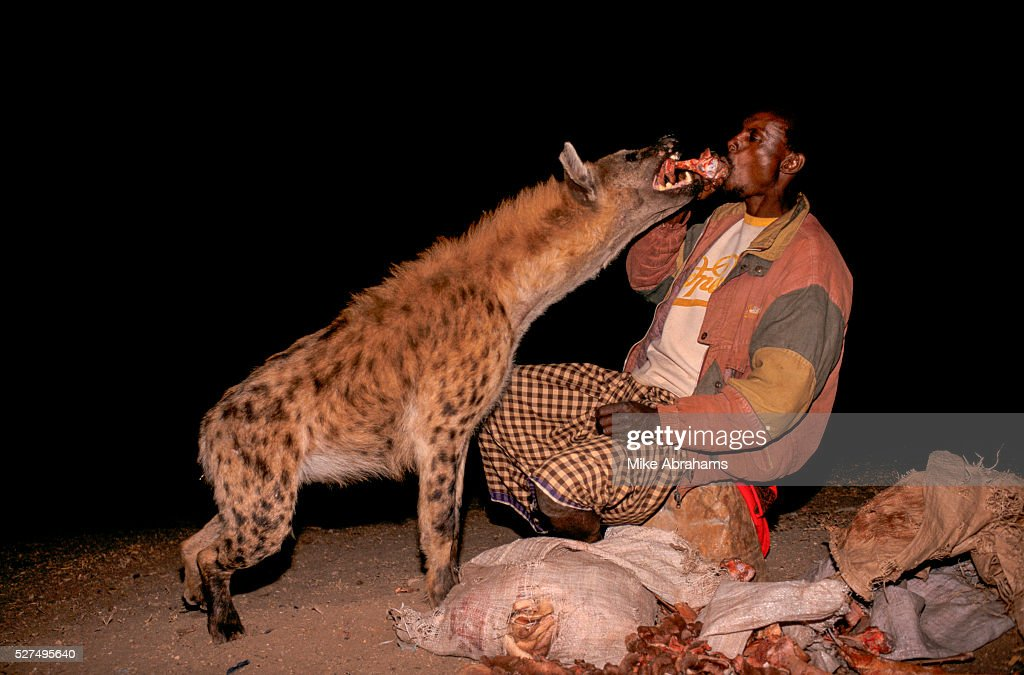 """Ethiopia - Harar - The """"hyena man"""" feeds the scavangers, so they are not tempted to attack the loca : News Photo"""