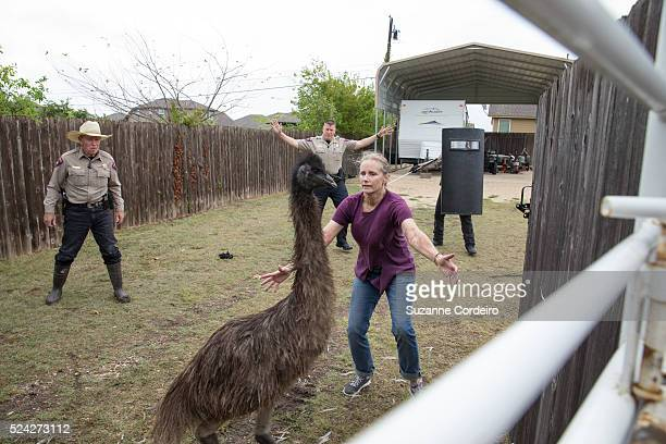 With the help of Round Rock Police Lori Kessler of Round Rock safely rounds up her four emus which were recovered on Steve Oleson's Valley Creek...