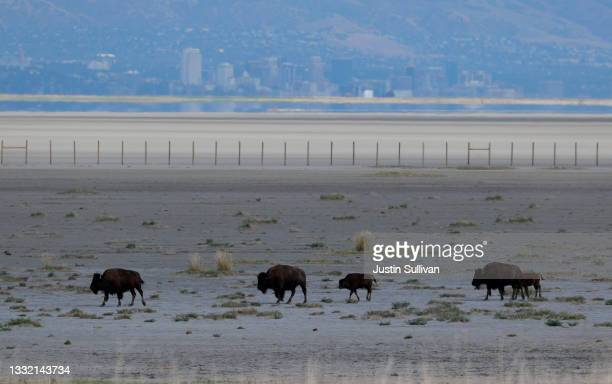 With the Salt Lake City skyline in the background, bison walk along a section of the Great Salt Lake that used to be underwater on August 01, 2021...