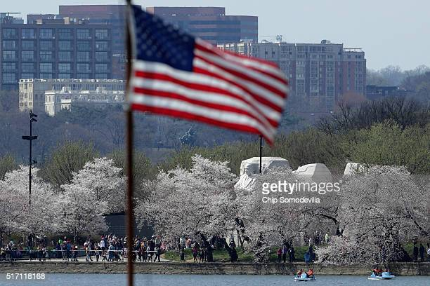 With the the Dr Martin Luther King Memorial in the distance the cherry trees that surround the Tidal Basin near the National Mall are starting to...