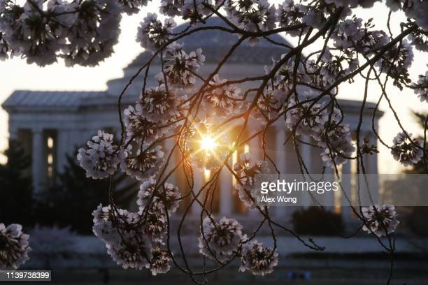 With the Thomas Jefferson Memorial is seen in the background cherry trees are in full bloom at the Tidal Basin April 1 2019 in Washington DC The...