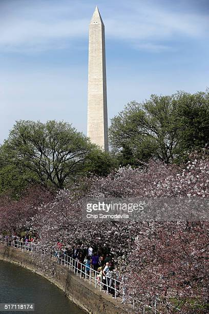 With the Washington Monument tall in the distance the cherry trees that surround the Tidal Basin near the National Mall are starting to bloom March...