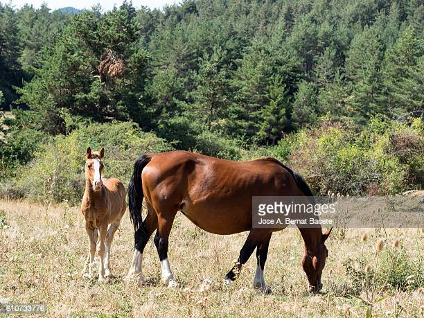 With their brood mare, foal, eating in the field