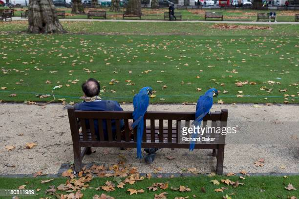 With two pigeons searching for seeds underneath two blue Macaws sit patiently with their owner on a park bench in Berkeley Square on 5th November in...