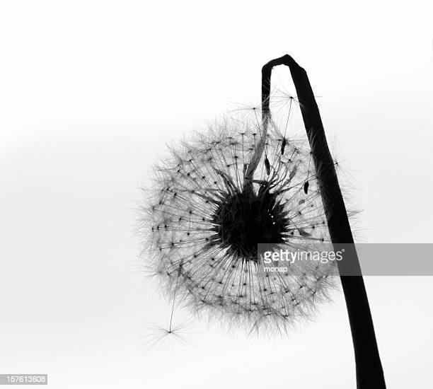 Withered dandelion in seed - black and white