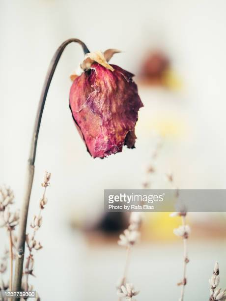 withered flower - roses catalonia stock pictures, royalty-free photos & images