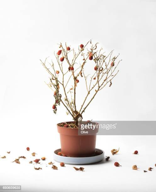 withered plant