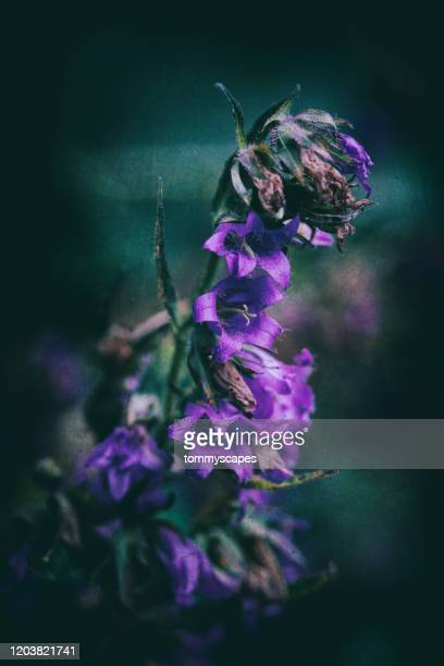 withered purple clustered bellflower with textured green background - death stock pictures, royalty-free photos & images