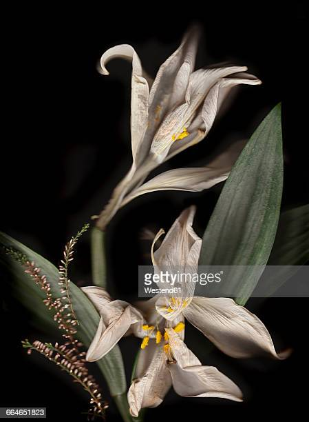 Withered white lillies in front of black background
