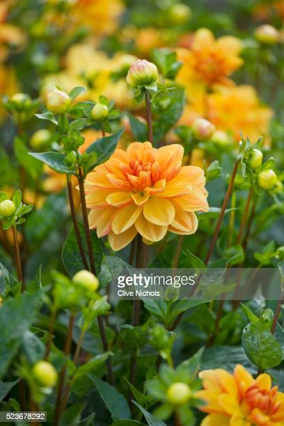 withypitts dahlias - image stock pictures, royalty-free photos & images