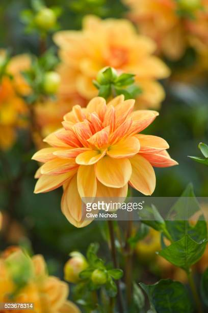 withypitts dahlias - archival stock pictures, royalty-free photos & images