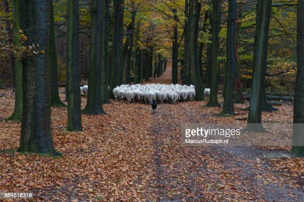 Witte schapen wandelen door oranje laan