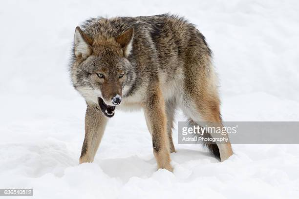 wolf agression, canada - fang stock pictures, royalty-free photos & images