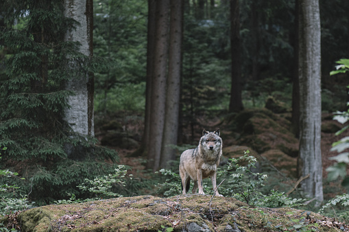 Wolf at Bayerischer Wald national park, Germany 970057960