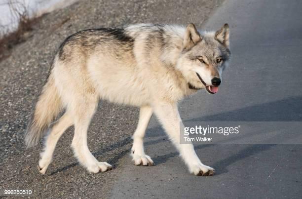 Wolf, Denali National Park, Alaska
