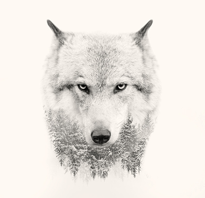 wolf face on white background double exposure 486707866
