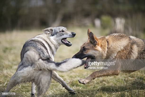 wolf fight - dog fight stock pictures, royalty-free photos & images