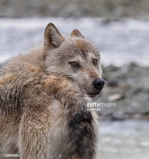 wolf giving one last look - last stock pictures, royalty-free photos & images