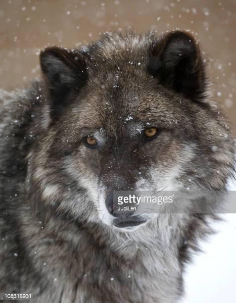 Wolf glamor shot in snow