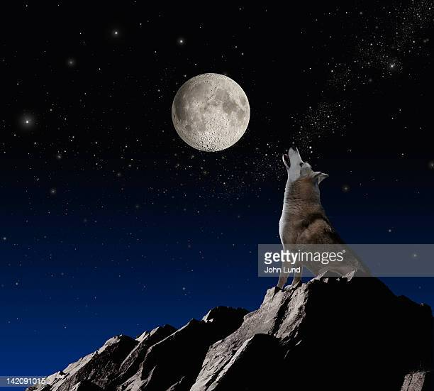 wolf howling at moon - wolf moon stock photos and pictures