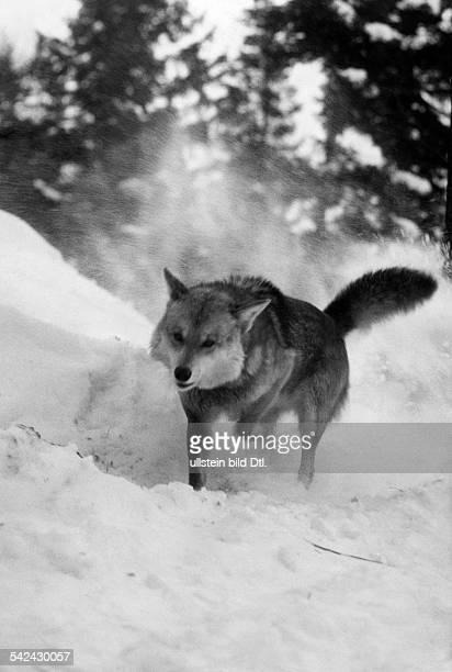 Wolf im Schnee- um 1932