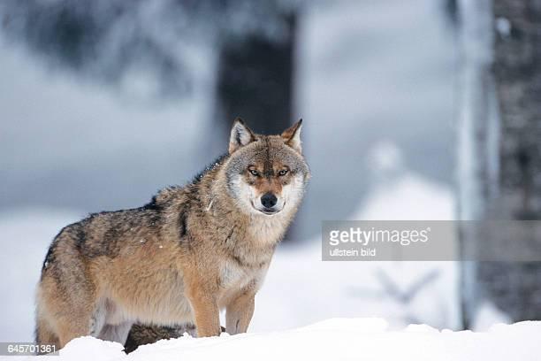 Wolf im Winter Bayern Canis lupus