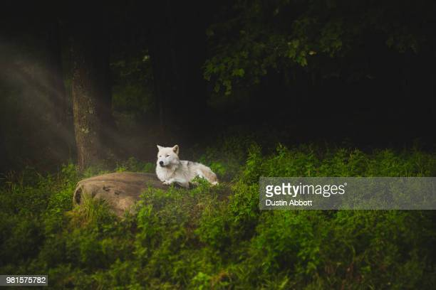 a wolf in a forest. - dustin abbott stockfoto's en -beelden