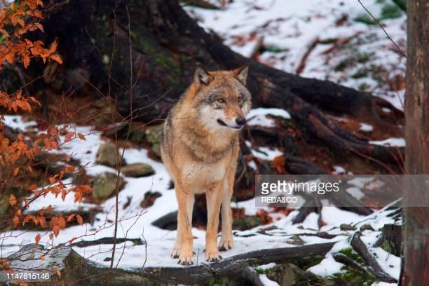 wolf in Bayarische Wald national park Baviera Germany Europe