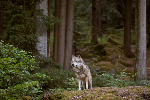 Wolf in Bayerischer Wald national park. Germany. 958923948