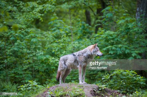 wolf in bialowieza forest national park, poland - bialowieza forest imagens e fotografias de stock